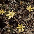 Triteleia_ixioides_ssp_scabra, Michael Mace