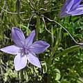 Triteleia laxa, Bear Valley Road, Mary Sue Ittner