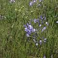 Triteleia laxa, Calaveras County, Nhu Nguyen