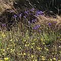 Triteleia laxa, Marin County, Nhu Nguyen