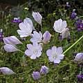 Triteleia laxa, Mariposa County, Mary Sue Ittner