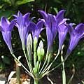 Triteleia laxa, Marin County form, Nhu Nguyen