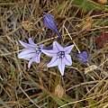 Triteleia laxa, Salt Point, Mary Sue Ittner