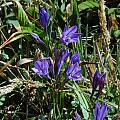 Triteleia laxa, Stornetta Public Lands, Bob Rutemoeller [Shift+click to enlarge, Click to go to wiki entry]
