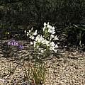 Triteleia laxa, UCBG white form, Nhu Nguyen