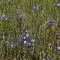 Triteleia laxa, Bear Valley, Mary Sue Ittner
