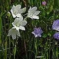 Triteleia laxa, Bidwell, Mary Sue Ittner