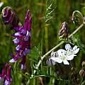 Triteleia lilacina, Mary Sue Ittner