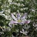 Triteleia lilacina, Tilden Botanical Garden, Nhu Nguyen