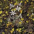 Triteleia lilacina, Bob Rutemoeller