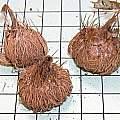 Triteleia lilacina corms, Mary Sue Ittner
