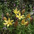 Triteleia lugens, Pinnacles National Park, Nhu Nguyen