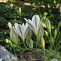 Triteleia peduncularis, Tilden Botanical Garden, Nhu Nguyen