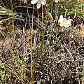 Tritonia bakeri ssp. bakeri, Andrew Harvie