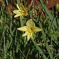 Tritonia chrysantha, Bob Rutemoeller