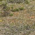 Tritonia deusta ssp. miniata, Andrew Harvie