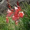 Tritonia drakensbergensis, Naudes Nek, Cameron McMaster [Shift+click to enlarge, Click to go to wiki entry]