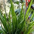 Tritoniopsis caffra, Liz Waterman