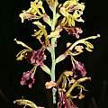 Tritoniopsis parviflora, Bainskloof, Andrew Harvie