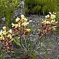 Tritoniopsis parviflora, Napier, Cameron McMaster