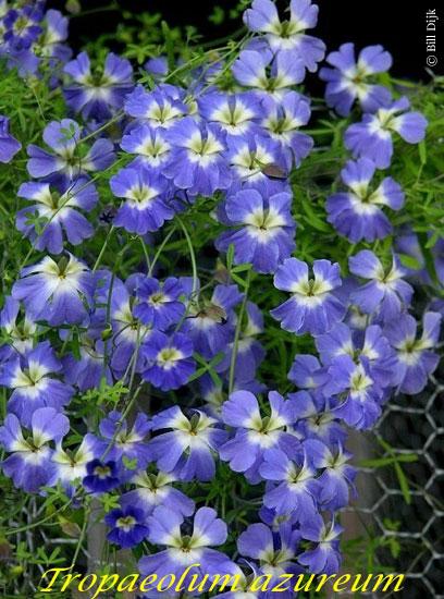 Tropaeolum azureum Blue Nasturtium 10 seeds