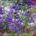 Tropaeolum azureum, Bill Dijk