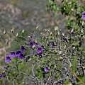 Tropaeolum azureum, Jane McGary
