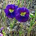 Tropaeolum azureum flowers, Eugene Zielinski
