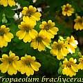 Tropaeolum brachyceras, Bill Dijk