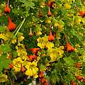 Tropaeolum brachyceras with Tropaeolum tricolor, Mary Sue Ittner