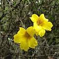 Tropaeolum hookerianum flowers, Eugene Zielinski