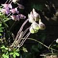 Tropaeolum hookerianum spp. austropurpureum, Nhu Nguyen