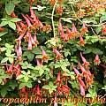 Tropaeolum pentaphyllum, Bill Dijk