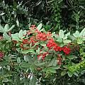 Tropaeolum speciosum, Nhu Nguyen