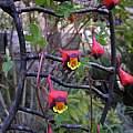 Tropaeolum tricolor, Bob Rutemoeller