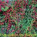 Tropaeolum tricolor, Bill Dijk