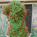 Tropaeolum tricolor, Jane McGary
