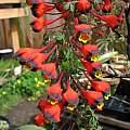 Tropaeolum tricolor, Nhu Nguyen
