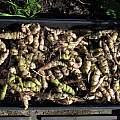Tropaeolum tuberosum, Nhu Nguyen