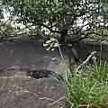Tulbaghia acutiloba, Rod Saunders