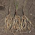 Tulbaghia acutiloba roots, Nhu Nguyen
