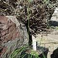 Tulbghia violacea ssp. macmasteri, Hans Joschko