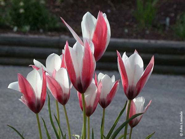 ladyjane_Pacific Bulb Society | Tulipa Species One