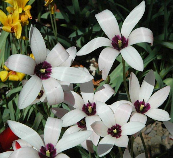 Pacific Bulb Society Tulipa Species One