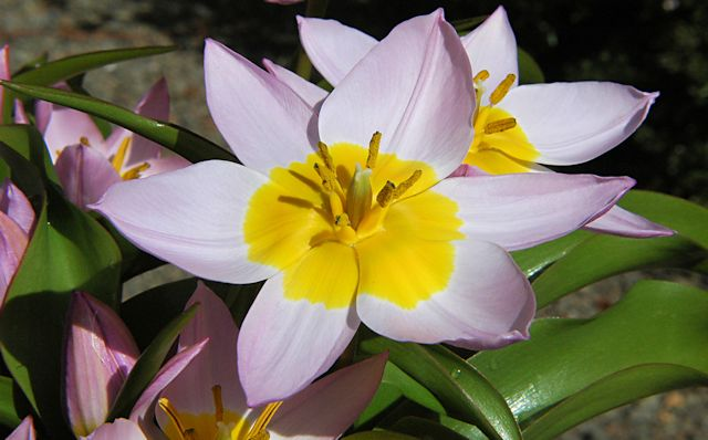 Pacific Bulb Society Tulipa Species Four