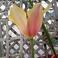 Tulipa 'Blushing Beauty', Jennifer Hildebrand