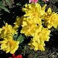 'Tulipa 'Monte Carlo', Janos Agoston