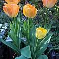 Tulipa 'Daydream', Mary Sue Ittner