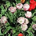 Tulipa 'Ollioules', Janos Agoston
