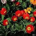 Tulipa 'Oxford', Janos Agoston